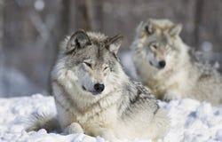 Descanso dos lobos Imagens de Stock