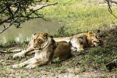 Descanso fêmea de dois leões fotografia de stock royalty free