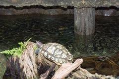 Descanso grande da tartaruga Fotos de Stock