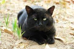 Descanso grande do gato preto Fotos de Stock