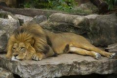 Descanso majestoso do leão foto de stock royalty free