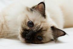Descanso pequeno do gatinho Fotografia de Stock