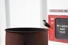 Descanso preto do pássaro Imagem de Stock