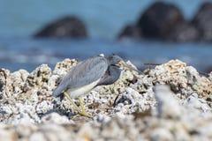Descanso tricolor do Egretta da garça-real de Tricolored em Rocky Beach Imagens de Stock
