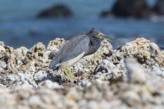 Descanso tricolor do Egretta da garça-real de Tricolored em Rocky Beach Imagem de Stock Royalty Free