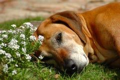 Descanso velho do cão Foto de Stock Royalty Free