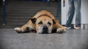 Descanso velho do cão Fotos de Stock Royalty Free