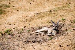 Descanso vermelho do canguru fotos de stock