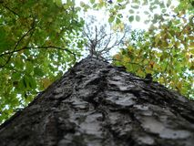 Descascamento acima da árvore errada Foto de Stock Royalty Free