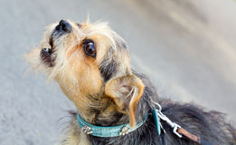 Descascamento do cão Imagens de Stock