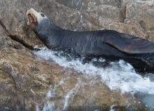 Descascamento do leão de mar Foto de Stock Royalty Free