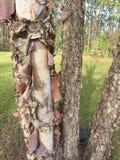 Descascando a casca em uma árvore de vidoeiro do rio imagem de stock royalty free