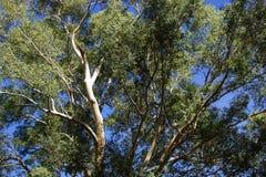 Descascando a casca na árvore de eucalipto Fotos de Stock Royalty Free