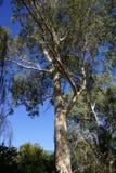 Descascando a casca na árvore de eucalipto Fotos de Stock