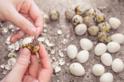 Descascando fora ovos de codorniz Foto de Stock Royalty Free