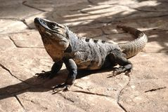 Descendant of dinosaurs. Peninsula Yucatan. Stock Images