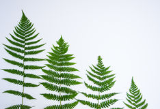 Descending Ferns on a White Background Stock Image