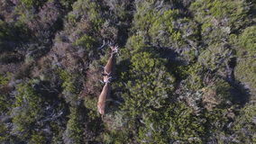 Descending over 2 male deers in the smoothness, aerial view stock video