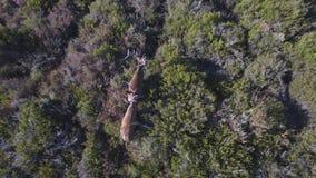 Descending over 2 male deers in the smoothness, aerial view. Aerial view descending over 2 male deers quiet in bush, 4K stock video