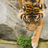 Descending tiger Royalty Free Stock Photos