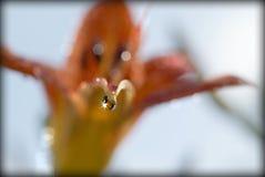 Descenso anaranjado de la flor y de rocío Foto de archivo
