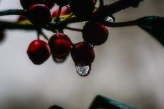 Descenso congelado del agua en Holly Berries fotos de archivo