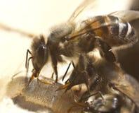 Descenso de la miel y de las abejas Fotografía de archivo