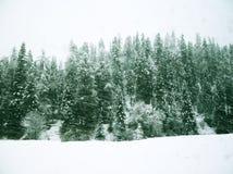 Descenso de la nieve en bosque del pino Fotografía de archivo libre de regalías
