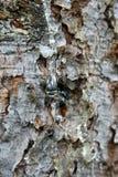 Descenso de la resina en árbol de pino Foto de archivo