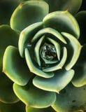 Descenso de rocío de la mañana en las hojas verdes de la planta de agua Fotos de archivo libres de regalías