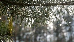 Descenso del agua de la cámara lenta que baja de ramas de árbol de pino Ci?rrese encima de la visi?n almacen de video