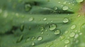 Descenso del agua de la naturaleza en la hoja fresca del árbol con la pequeña atmósfera de la lluvia almacen de video
