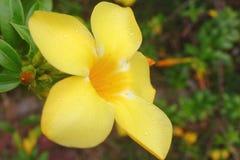 Descenso del agua en cierre amarillo de la flor para arriba imagenes de archivo