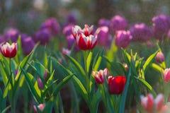 Descenso del agua en el tulipán en fondo del jardín Imagenes de archivo