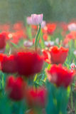 Descenso del agua en el tulipán en fondo del jardín Imágenes de archivo libres de regalías