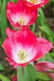 Descenso del agua en el tulipán rosado Imágenes de archivo libres de regalías