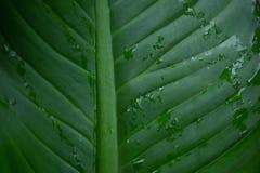 Descenso del agua en hoja de palma verde Foto de archivo libre de regalías