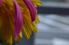 Descenso del agua en la flor rosada del Gerbera fotografía de archivo libre de regalías