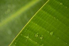 Descenso del agua en la hoja del plátano Fotografía de archivo