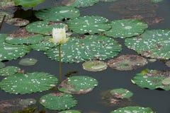 Descenso del agua en las hojas de los patanes fotografía de archivo