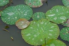 Descenso del agua en las hojas de los patanes fotos de archivo