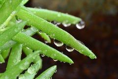 Descenso del agua en las hojas verdes Fotografía de archivo libre de regalías