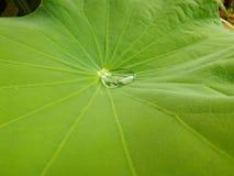 descenso del agua en una hoja del loto Imagen de archivo