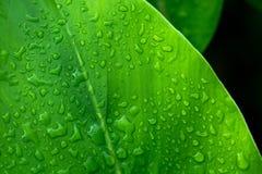 Descenso verde de la hoja del agua después de la lluvia Imágenes de archivo libres de regalías