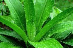 Descenso verde de la hoja del agua después de la lluvia Imagen de archivo libre de regalías