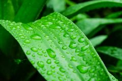 Descenso verde de la hoja del agua después de la lluvia Foto de archivo libre de regalías