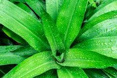 Descenso verde de la hoja del agua después de la lluvia reina verde de la hoja del fondo de Dracaenas Foto de archivo libre de regalías