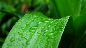 Descenso verde de la hoja del agua después de la lluvia reina verde de la hoja del fondo de Dracaenas Imagen de archivo