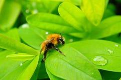 Descensos de la abeja y del agua en las hojas verdes Foto de archivo