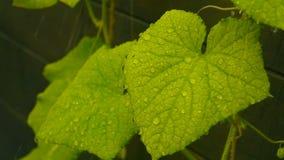 Descensos de la caída de la lluvia en las hojas metrajes